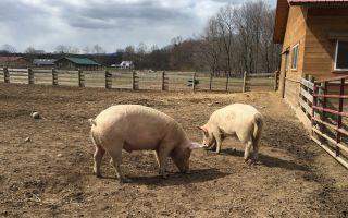 Свинарник на 50 племенных голов свиней — как построить правильно