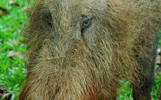 Бородатая свинья – любопытное природное создание