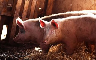 Свинья — содержание в домашних условиях