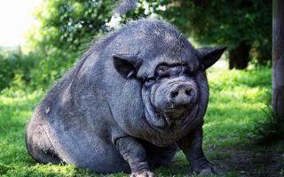 Вьетнамская свинья: уход и содержание