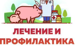 Определяем и лечеим репродуктивно-респираторный синдром свиней (РРСС)