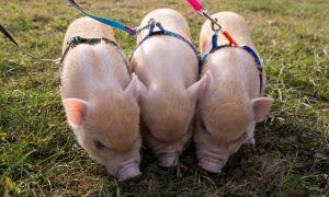 Мини-пиг — декоративная свинья в вашем доме