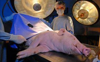 Наркоз для свиней