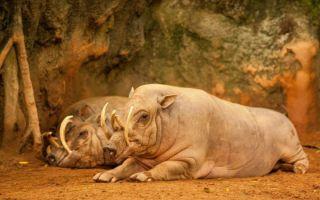 Бабирусса — свинья олень