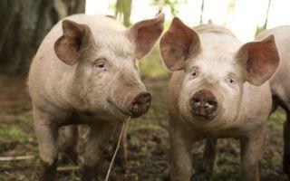 Методы скрещивания свиней