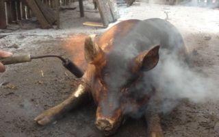 Опаливание свиней