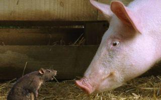 Как можно избавиться от крыс в свинарнике?