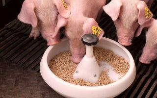 Рацион молодых свинок и поросят