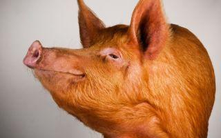 Рыжие свиньи: описание лучших пород