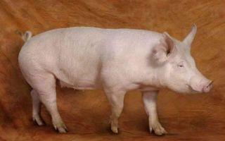 Все о йоркширской породе свиней