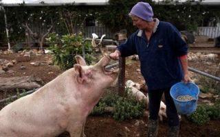 Супоросная свинья: кормление