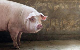 Эстонская порода свиней