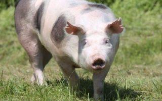 Все о свиньях породы Пьетрен