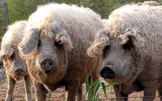 Как выбирать и содержать свиней породы мангал