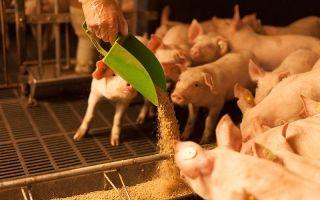 Что едят свиньи: виды кормов и технологии кормления