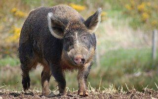 Гибриды свиней: гибрид свиньи и кабана