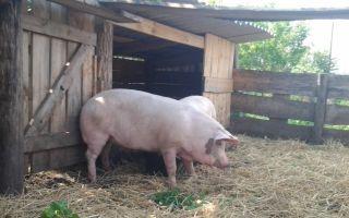 Свинарник на 10 голов: пошаговая инструкция
