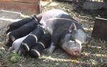 Свинья не ест после опороса и что делать и какие предпринять меры