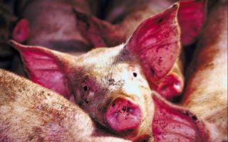 Краснуха свиней