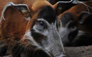 Африканская кистеухая свинья — почему не стоит заводить на ферме
