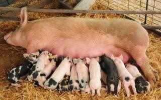 Высокопродуктивные свиноматки