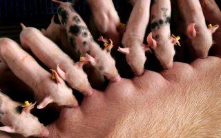 Мастит у свиней