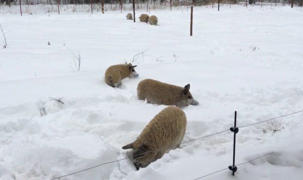 Венгерские мангалицы зимой