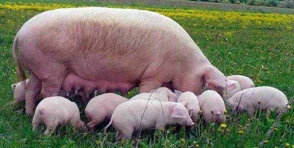 Свиноматка ландрас с выводком