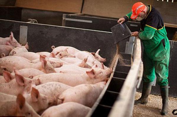 Сухой корм для свиней