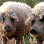 Свиньи попроды мангал