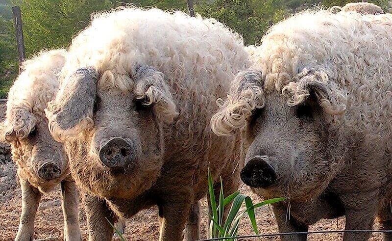 Венгерский мангал свиньи