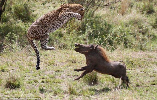 Бородавочник и леопард