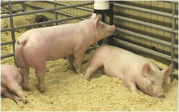 Свиньи йоркшир