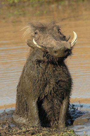 Африканский Бородавочник