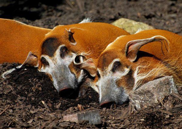 Стадо африканских кистеухих свиней