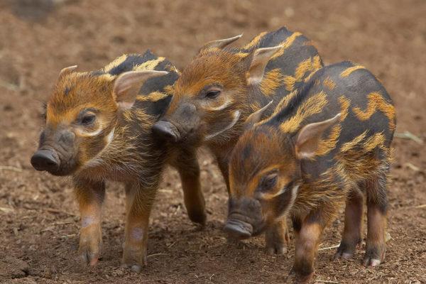 Поросята африканской кистеухой свиньи