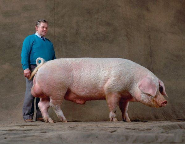 Внешний вид беконной эстонской свиньи