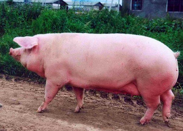 Эстонская свинья