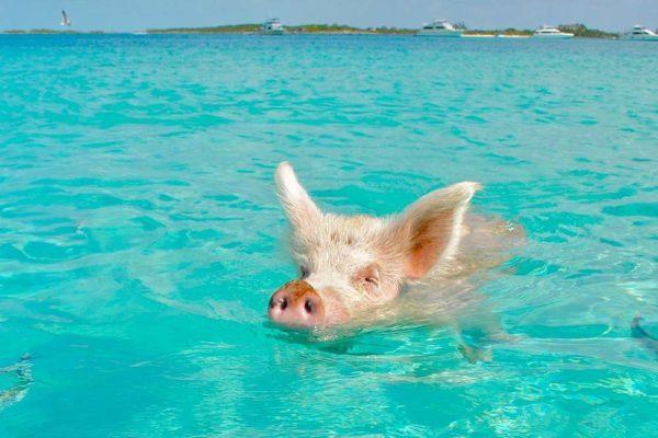 Плавающая свинья