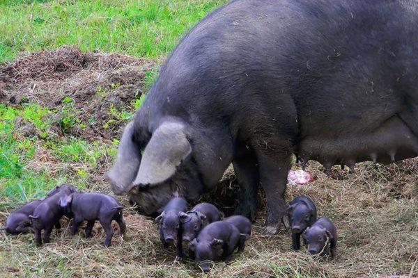Кемеровская свинья с поросятами