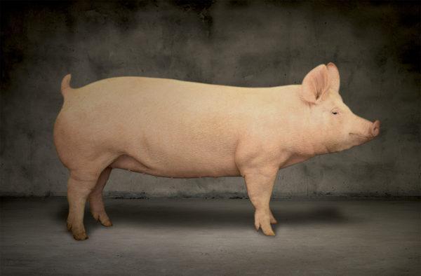 Белая мясная свинья