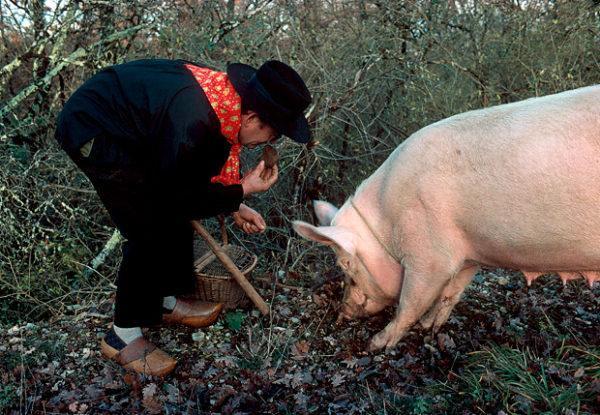 Свинья на поисках трюфеля