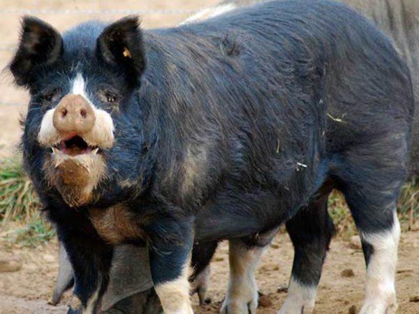 Беркширская свинья