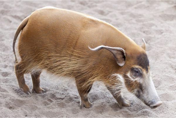 Африканская кистеухая свинья