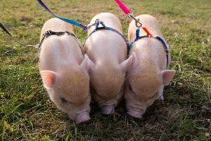 Мини-пиги на прогулке