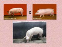 Алтайская порода свиней