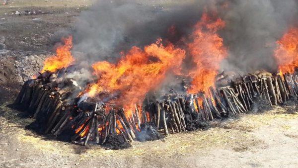 Сожжение свиней АЧС