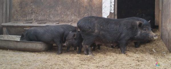 Мясной подвид вьетнамских свиней