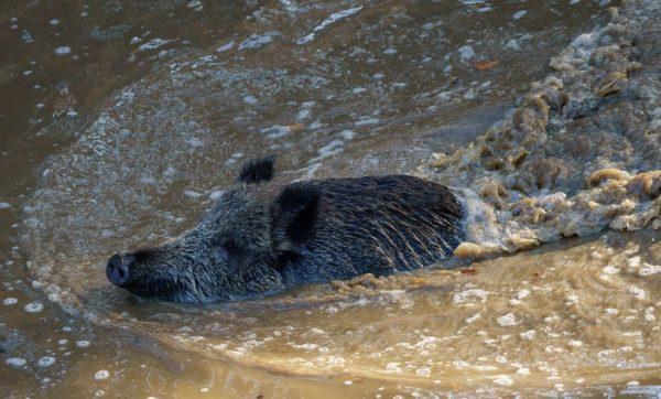 Кабан плывет по реке