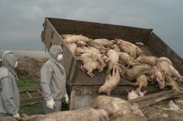 Уничтожение стада с вирусом африканской чумы свиней